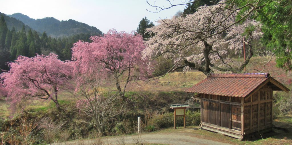 Koyasu Kannon and the weeping cherry tree