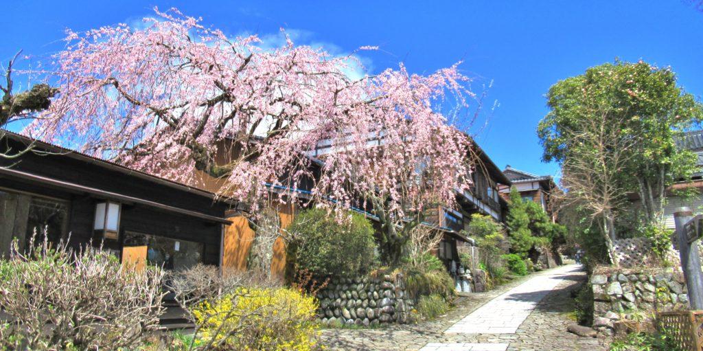 Magome-juku Cherry Blossom Tree