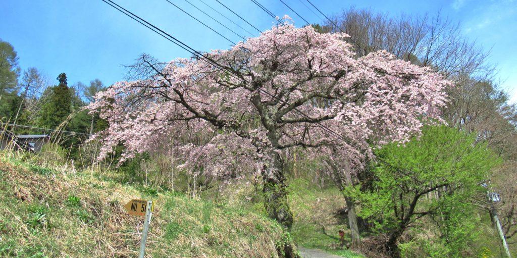 桜の宮跡のしだれ桜